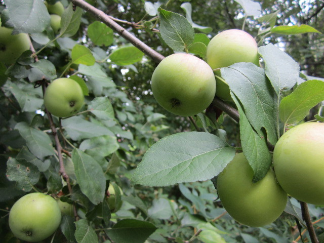 Apple tree in the backyard